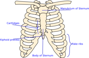 Labelled    Rib    Cage Clip Art at Clker  vector clip art online  royalty free   public domain